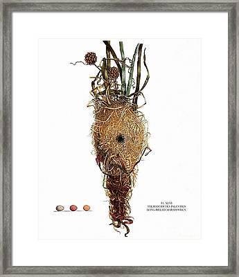 Vintage Nature, Long Billed Marsh Wren Nest, Eggs Framed Print by Tina Lavoie