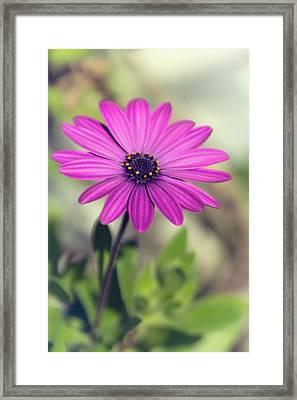 Framed Print featuring the photograph Vintage Purple Daisy  by Saija Lehtonen