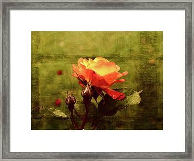 Vintage Rose Framed Print by Bonnie Bruno
