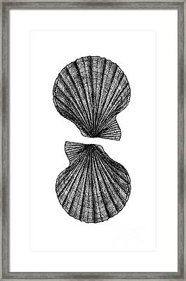 Framed Print featuring the photograph Vintage Scallop Shells by Edward Fielding