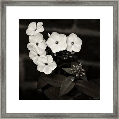 Vintage Summer Phlox No 1 Framed Print by Daniel G Walczyk