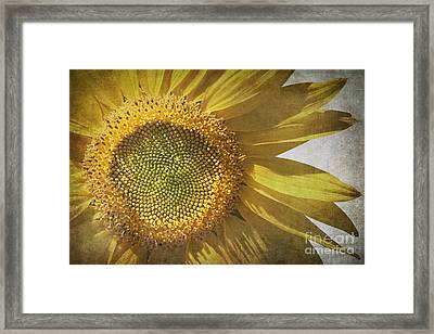 Vintage Sunflower Framed Print by Jane Rix