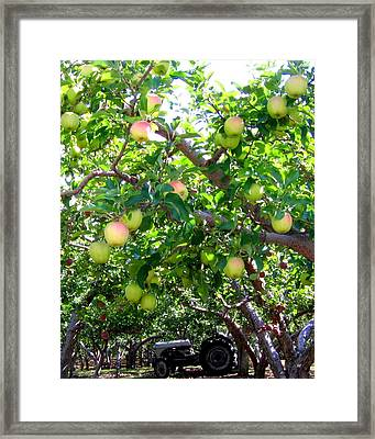 Vintage Tractor In Apple Orchard Framed Print by Will Borden
