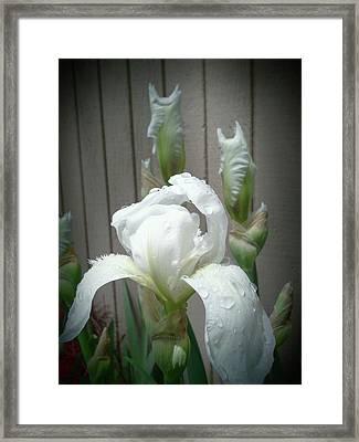 Vintage White Iris Framed Print