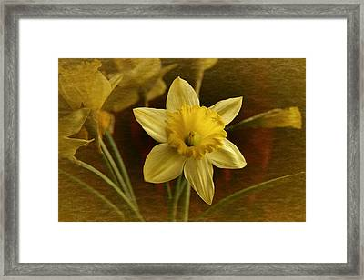 Vintage Yellow Narcissus Framed Print by Richard Cummings