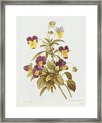 Viola Tricolour  Framed Print by Pierre Joseph Redoute