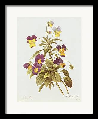 Wild Pansy Framed Prints
