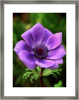 Violet Anemone Framed Print