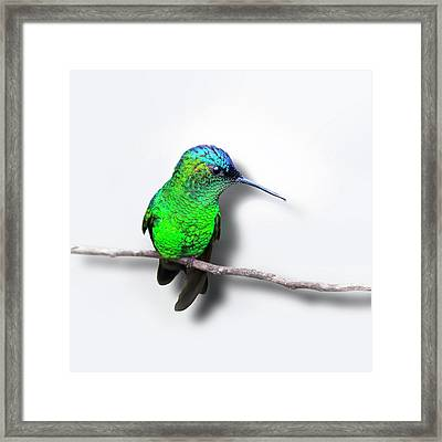 Violet-capped Woodnymph - Isolated Framed Print