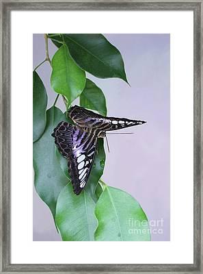 Violet Clipper Butterfly V2 Framed Print