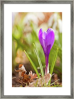 Violet Crocus Framed Print by Christine Amstutz
