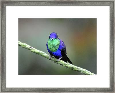 Violet-crowned Woodnymph  C Framed Print