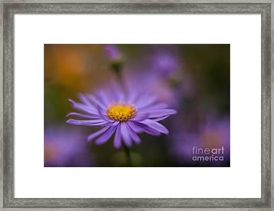 Violet Daisy Dreams Framed Print