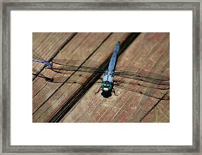 Violet Dancer On A Great Blue Skimmer Framed Print by Susan Isakson