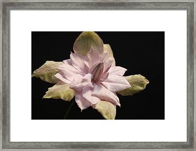 Violet Elizabeth Clematis Framed Print by Tammy Pool