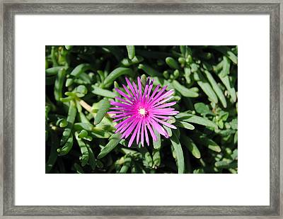 Ice Plant Framed Print by Isam Awad