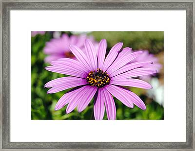 The African Daisy 1 Framed Print by Isam Awad