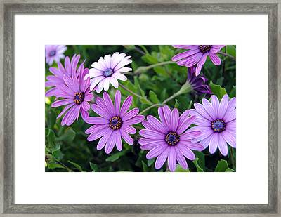 The African Daisy Flowers Framed Print by Isam Awad