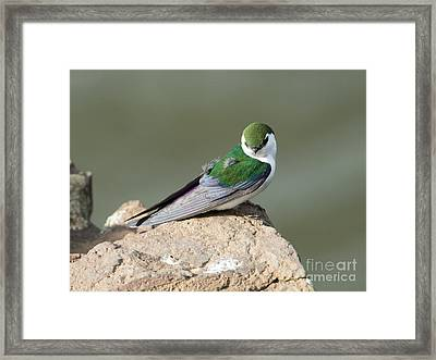 Violet-green Swallow Framed Print by Mike Dawson
