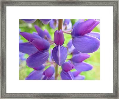 Violet Lupin Framed Print by Jeremy Wolff