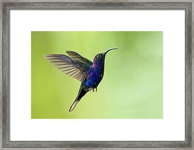 Violet Sabrewing Campylopterus Framed Print by Panoramic Images