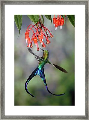 Violet-tailed Sylph Feeding Framed Print by Michael and Patricia Fogden