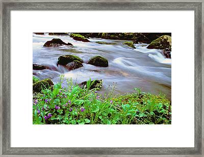 Violets Along Hazel Creek Framed Print by Alan Lenk