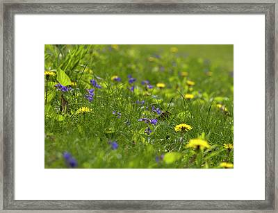 Violets And Dandelions Framed Print by Gary Chapple