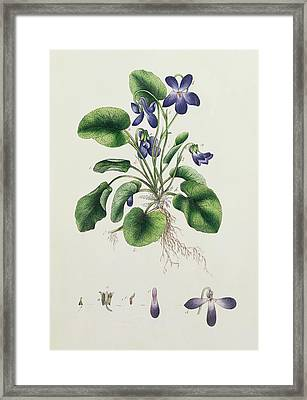 Violets Framed Print by English School