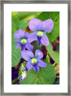 Violets Framed Print by Jame Hayes