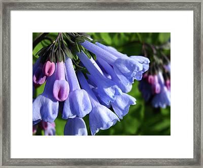 Virginia Blue Bells Framed Print