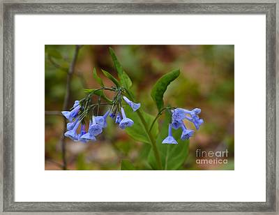 Framed Print featuring the photograph Virginia Bluebells by Randy Bodkins