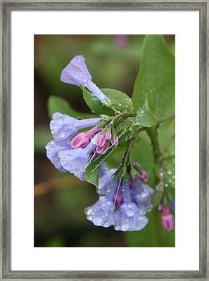 Virginia Bluebells Framed Print