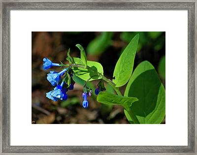 Virginia Bluebells Framed Print