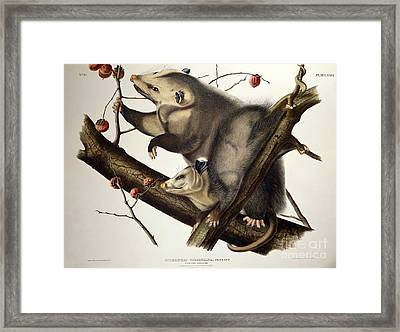 Virginian Opossum Framed Print by John James Audubon