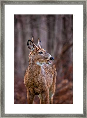 Visiting Buck Framed Print