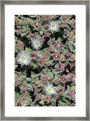 Vivacity 3 - Tenerife Ice Plant Framed Print by Robert Schaelike