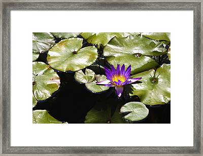 Vivid Purple Water Lilly Framed Print by Teresa Mucha
