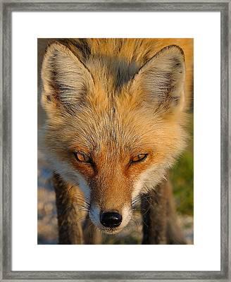 Vixen Framed Print