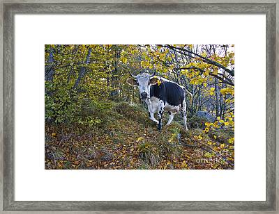 Vosges Cow In A Beech Forest Framed Print by Jean-Louis Klein & Marie-Luce Hubert
