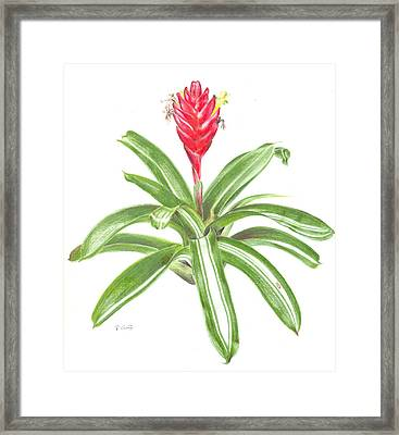 Vriesea 'gunther' Framed Print by Penrith Goff