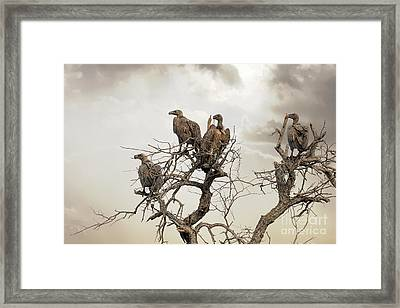 Vultures In A Dead Tree.  Framed Print