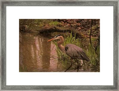 Wading Blue Heron Framed Print by Dan Sproul