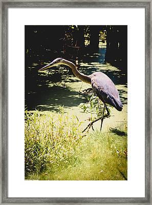 Wading Blue Heron  Framed Print by Debra Forand