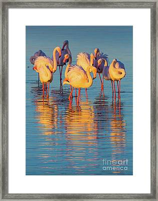 Wading Flamingos Framed Print by Inge Johnsson