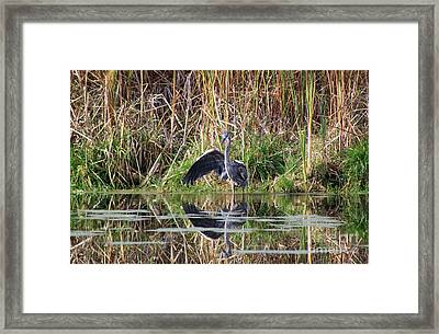 Wading In Heron Framed Print by Cathy  Beharriell