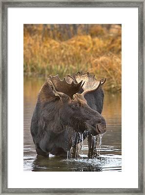 Wading In The Teton Wetlands Framed Print