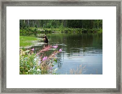 Wading Moose Framed Print by Rachel Kemble