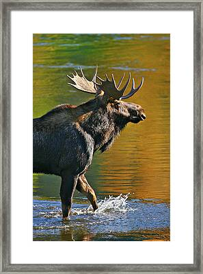 Framed Print featuring the photograph Wading Moose by Wesley Aston
