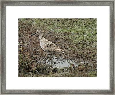 Wading Sandpiper Framed Print